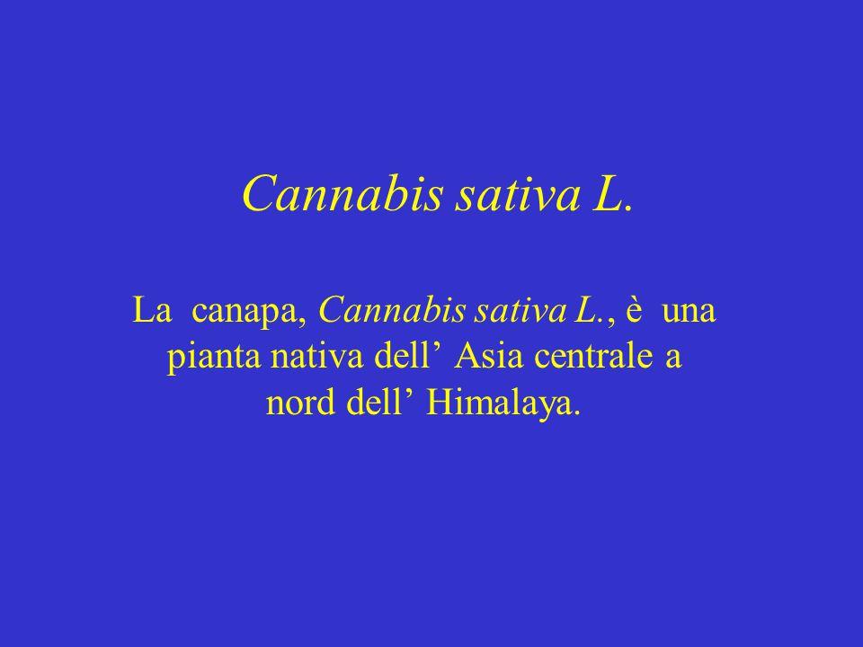 Cannabis sativa L. La canapa, Cannabis sativa L., è una pianta nativa dell' Asia centrale a nord dell' Himalaya.