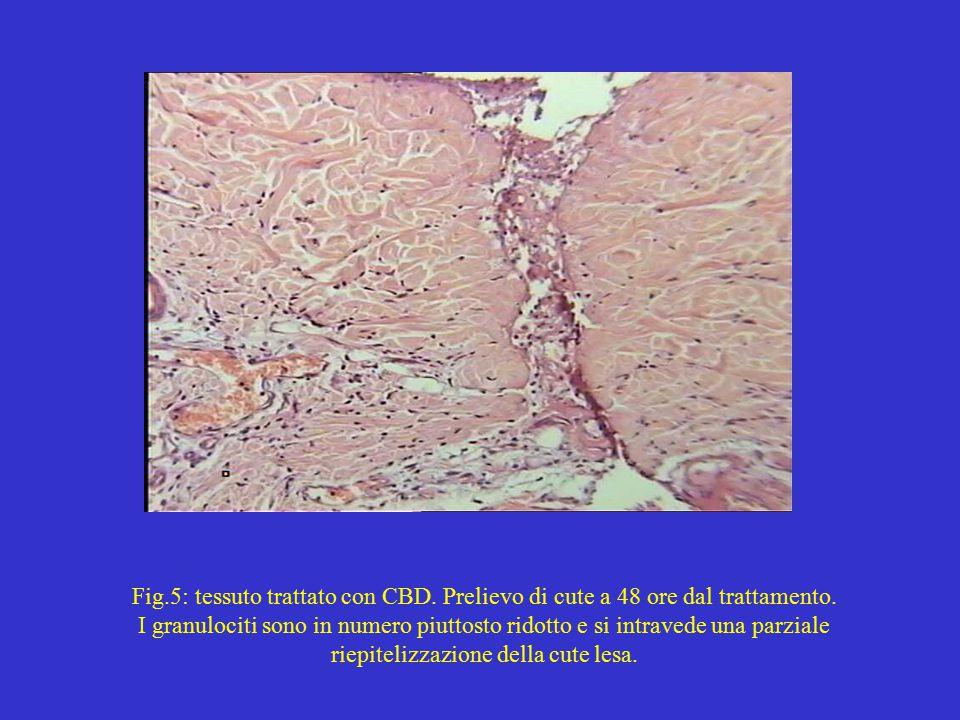 Fig.5: tessuto trattato con CBD. Prelievo di cute a 48 ore dal trattamento.
