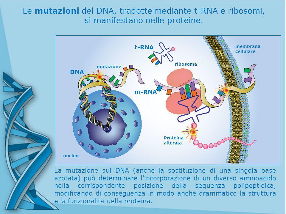 Le mutazioni del DNA, tradotte mediante t-RNA e ribosomi, si manifestano nelle proteine.