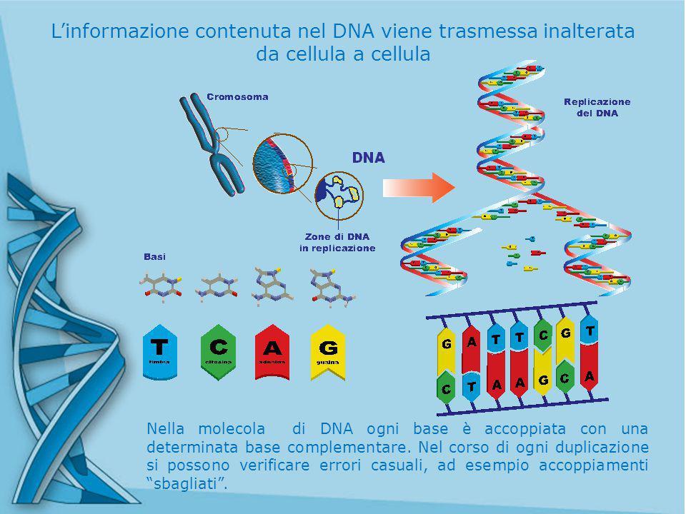 Nella molecola di DNA ogni base è accoppiata con una determinata base complementare.