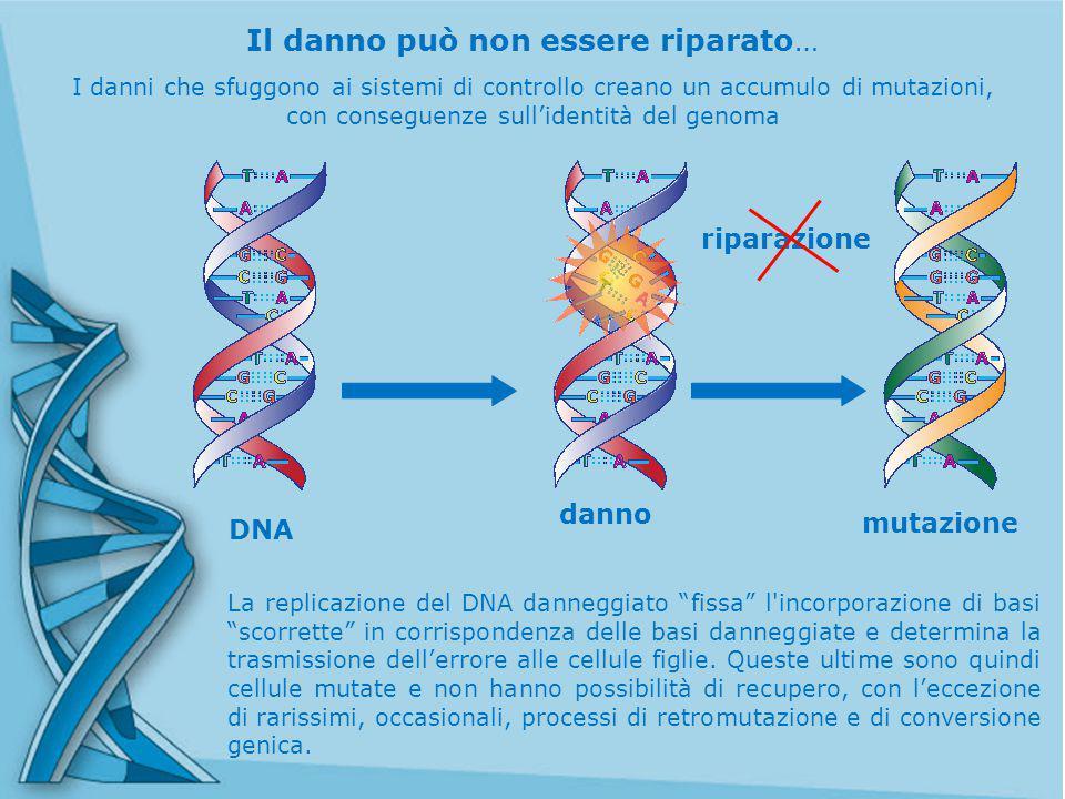 Il danno può non essere riparato… La replicazione del DNA danneggiato fissa l incorporazione di basi scorrette in corrispondenza delle basi danneggiate e determina la trasmissione dell'errore alle cellule figlie.