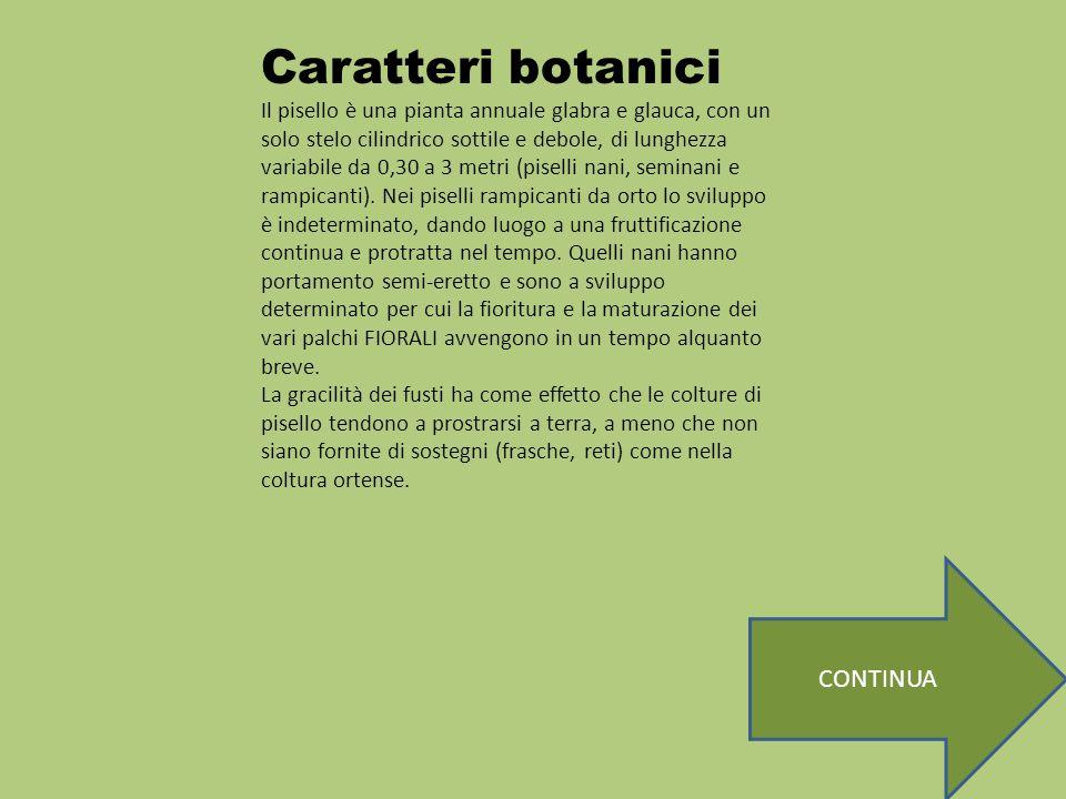 Caratteri botanici Il pisello è una pianta annuale glabra e glauca, con un solo stelo cilindrico sottile e debole, di lunghezza variabile da 0,30 a 3