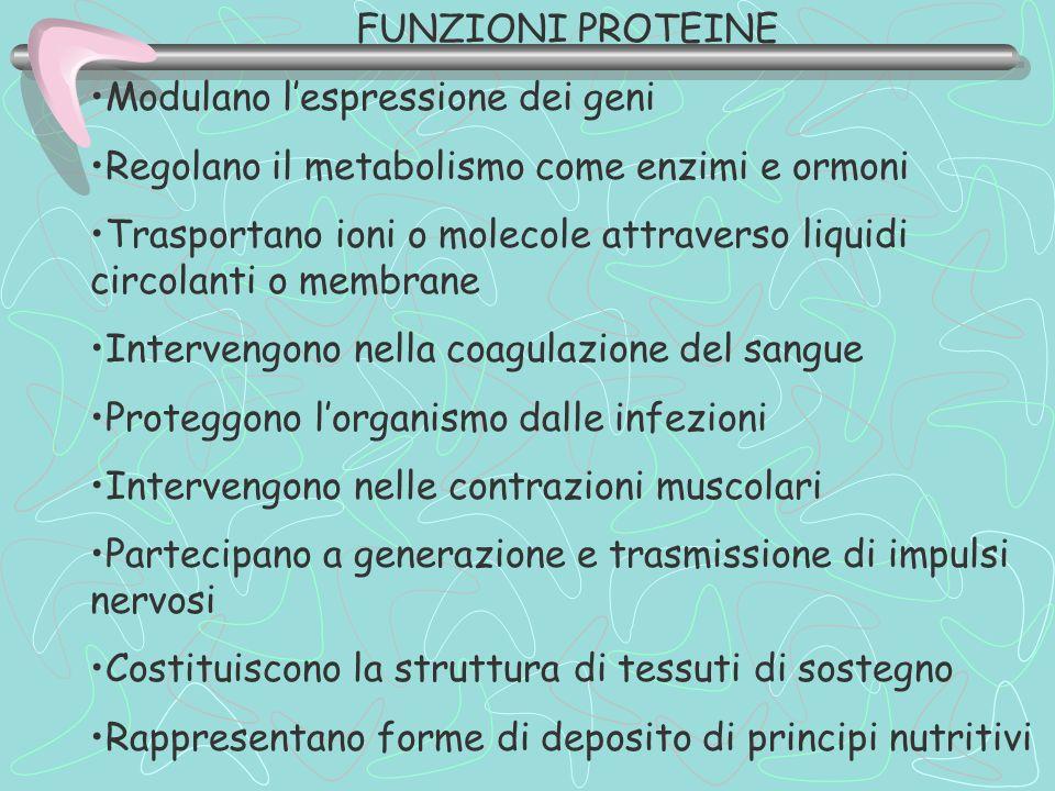 FUNZIONI PROTEINE Modulano l'espressione dei geni Regolano il metabolismo come enzimi e ormoni Trasportano ioni o molecole attraverso liquidi circolan