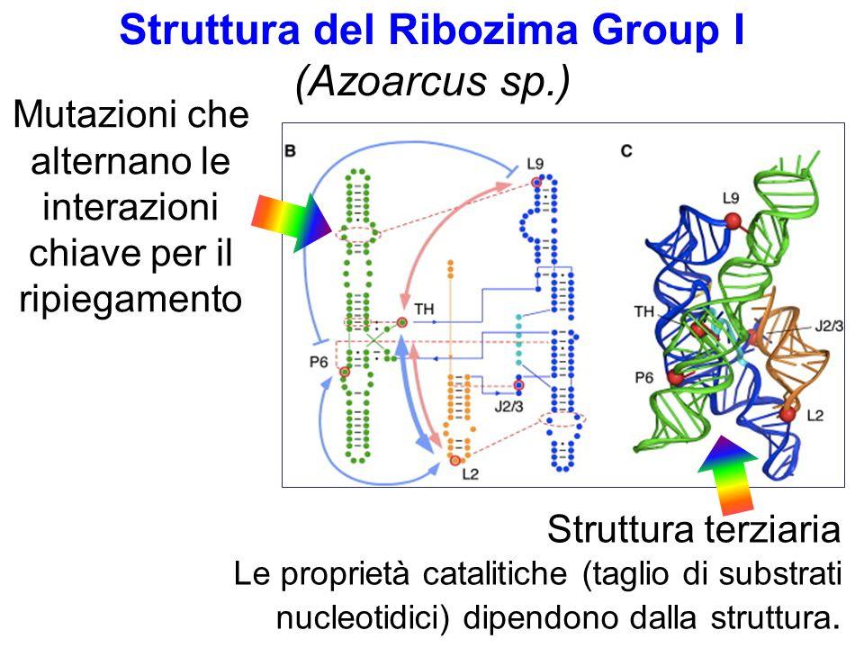 Struttura del Ribozima Group I (Azoarcus sp.) Struttura terziaria Le proprietà catalitiche (taglio di substrati nucleotidici) dipendono dalla struttura.