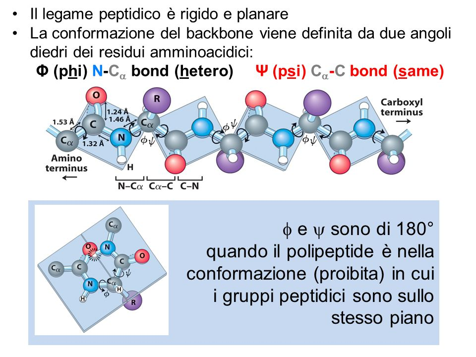  e  sono di 180° quando il polipeptide è nella conformazione (proibita) in cui i gruppi peptidici sono sullo stesso piano Il legame peptidico è rigi