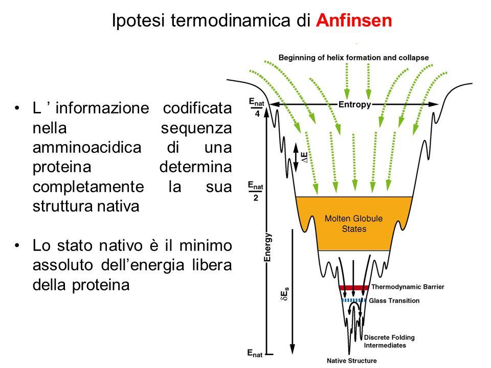 Ipotesi termodinamica di Anfinsen L'informazione codificata nella sequenza amminoacidica di una proteina determina completamente la sua struttura nativa Lo stato nativo è il minimo assoluto dell'energia libera della proteina
