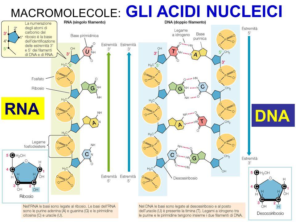 Nell'RNA lo zucchero pentoso e' il ribosio ed al posto della Timina si ritrova l'Uracile (U) La principale funzione dell'RNA è di tipo informazionale, e risiede nel trasferimento di informazione dal DNA alle proteine Molecole di RNA possono ripiegarsi grazie all'appaiamento delle basi complementare ed assumere forme specifiche nello spazio 3D Esistono RNA con funzione catalitica e con moltissime altre funzioni molecolari  non-coding RNAs GLI ACIDI NUCLEICI - RNA