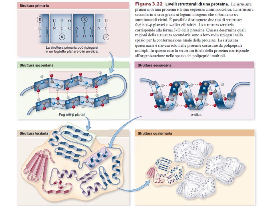  e  sono di 180° quando il polipeptide è nella conformazione (proibita) in cui i gruppi peptidici sono sullo stesso piano Il legame peptidico è rigido e planare La conformazione del backbone viene definita da due angoli diedri dei residui amminoacidici: Φ (phi) N-C  bond (hetero) Ψ (psi) C  -C bond (same)