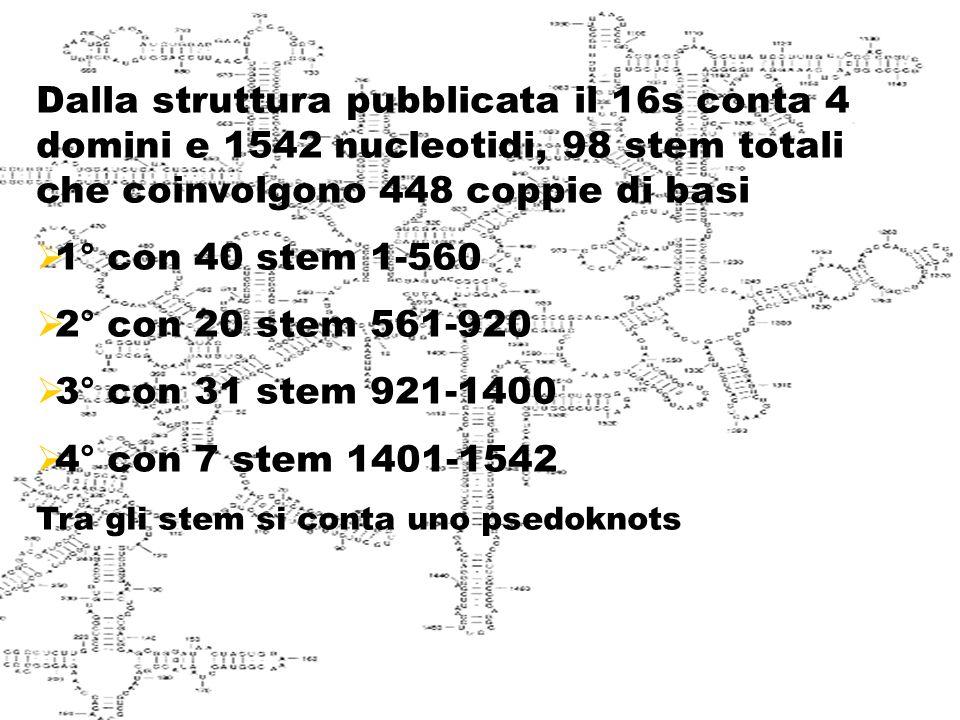 Struttura del 16s Dalla struttura pubblicata il 16s conta 4 domini e 1542 nucleotidi, 98 stem totali che coinvolgono 448 coppie di basi  1° con 40 stem 1-560  2° con 20 stem 561-920  3° con 31 stem 921-1400  4° con 7 stem 1401-1542 Tra gli stem si conta uno psedoknots