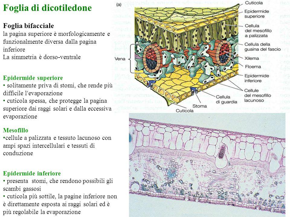 Foglia di dicotiledone Foglia bifacciale la pagina superiore è morfologicamente e funzionalmente diversa dalla pagina inferiore La simmetria è dorso-v