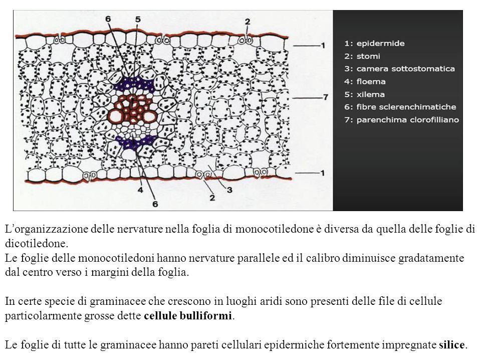 L ' organizzazione delle nervature nella foglia di monocotiledone è diversa da quella delle foglie di dicotiledone. Le foglie delle monocotiledoni han