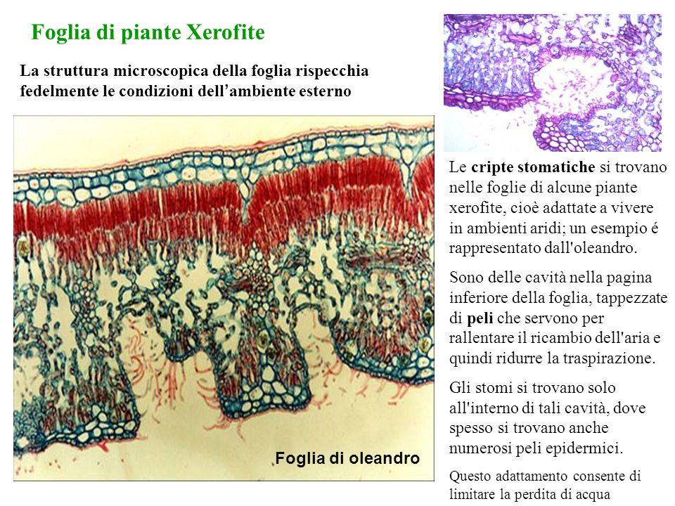La struttura microscopica della foglia rispecchia fedelmente le condizioni dell ' ambiente esterno Le cripte stomatiche si trovano nelle foglie di alc