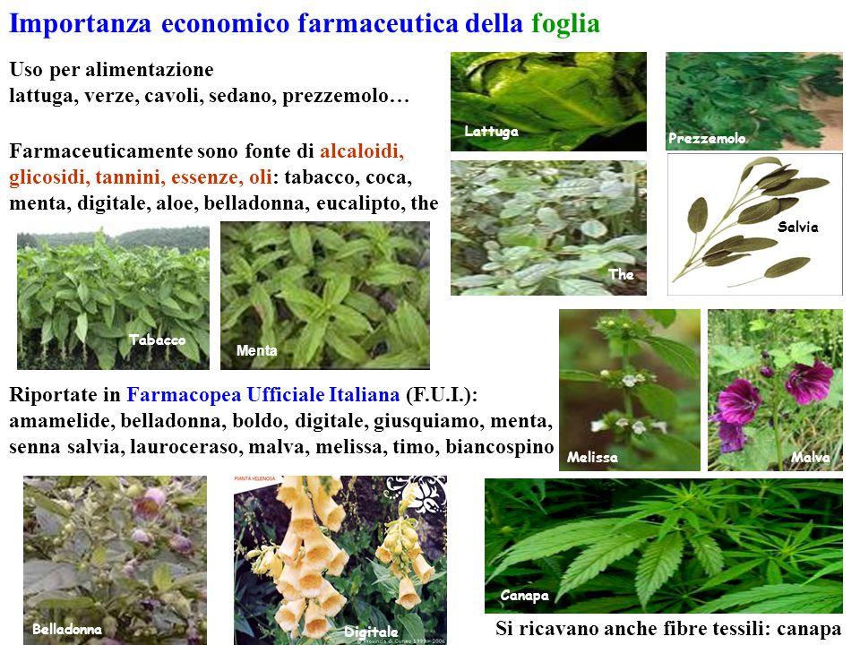 Si ricavano anche fibre tessili: canapa Importanza economico farmaceutica della foglia Uso per alimentazione lattuga, verze, cavoli, sedano, prezzemol