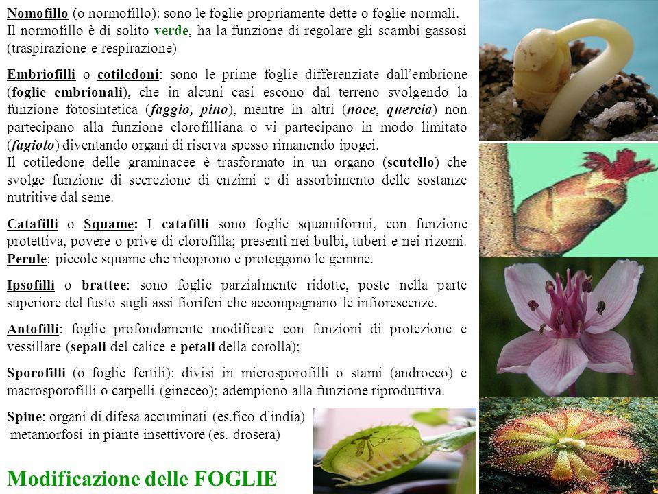 Nomofillo (o normofillo): sono le foglie propriamente dette o foglie normali. Il normofillo è di solito verde, ha la funzione di regolare gli scambi g