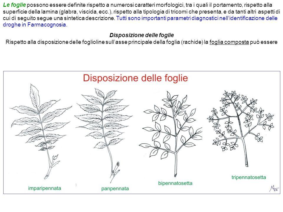 Disposizione delle foglie Rispetto alla disposizione delle foglioline sull'asse principale della foglia (rachide) la foglia composta può essere Le fog