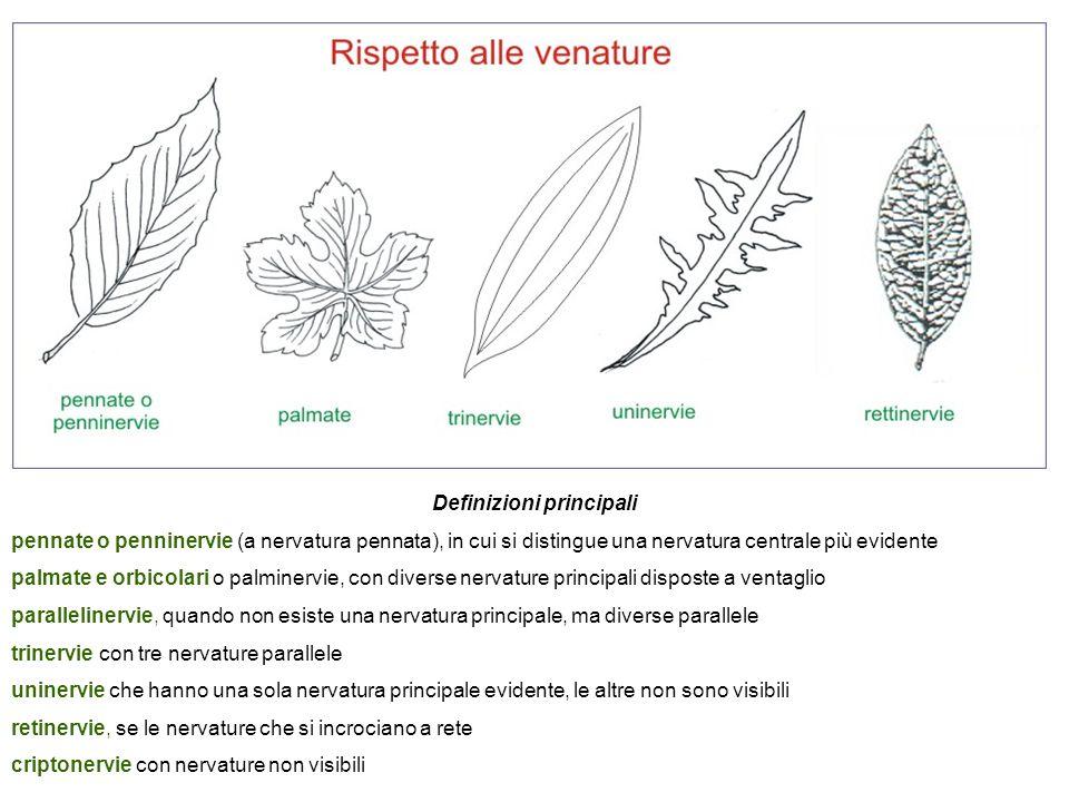 Definizioni principali pennate o penninervie (a nervatura pennata), in cui si distingue una nervatura centrale più evidente palmate e orbicolari o pal