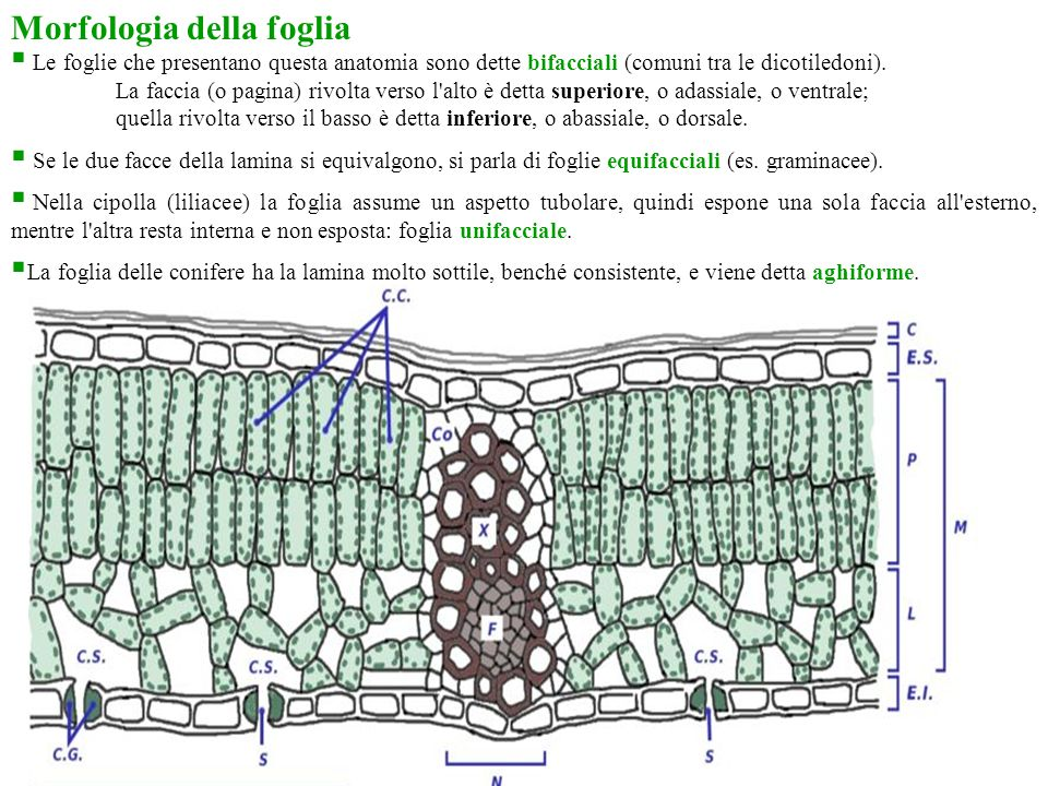 Morfologia della foglia  Le foglie che presentano questa anatomia sono dette bifacciali (comuni tra le dicotiledoni). La faccia (o pagina) rivolta ve