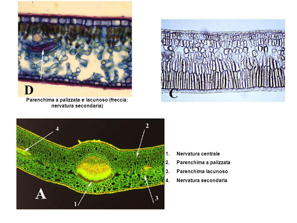 Parenchima a palizzata e lacunoso (freccia: nervatura secondaria) 1.Nervatura centrale 2.Parenchima a palizzata 3.Parenchima lacunoso 4.Nervatura seco