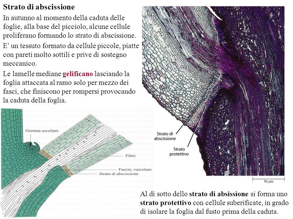 Strato di abscissione In autunno al momento della caduta delle foglie, alla base del picciolo, alcune cellule proliferano formando lo strato di abscis