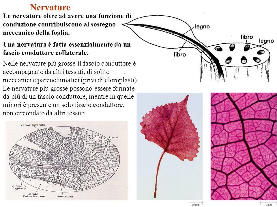 Nelle nervature più grosse il fascio conduttore è accompagnato da altri tessuti, di solito meccanici e parenchimatici (privi di cloroplasti). Le nerva