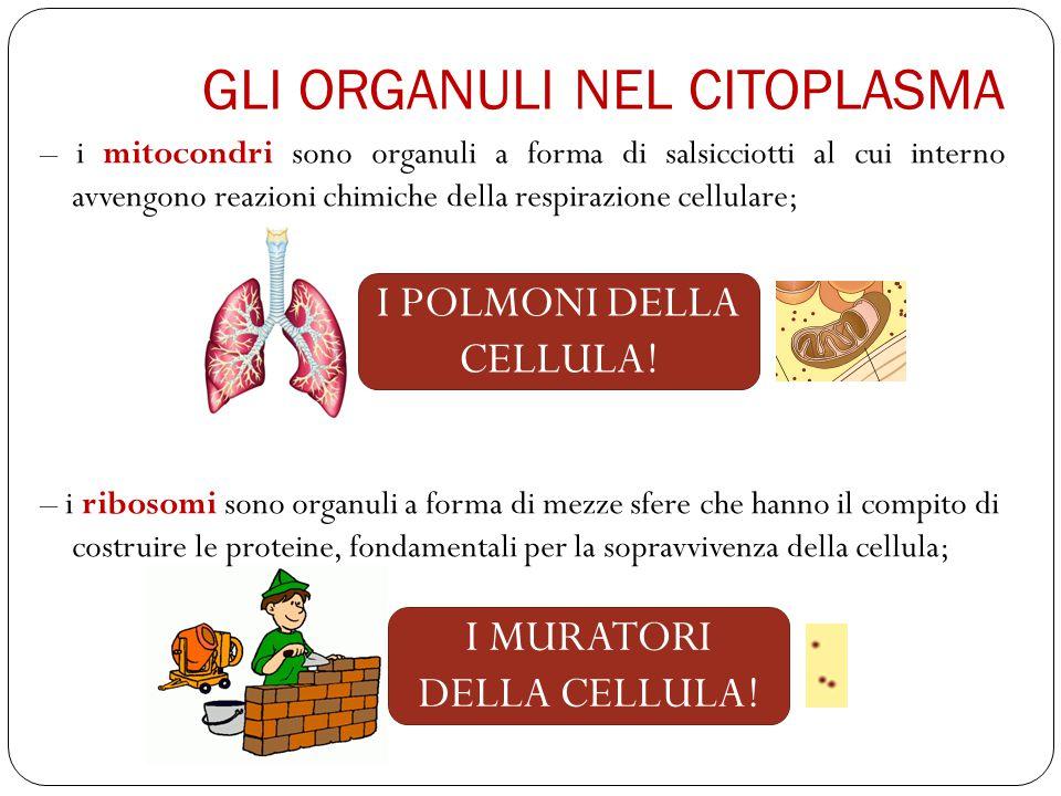 – i mitocondri sono organuli a forma di salsicciotti al cui interno avvengono reazioni chimiche della respirazione cellulare; – i ribosomi sono organuli a forma di mezze sfere che hanno il compito di costruire le proteine, fondamentali per la sopravvivenza della cellula; GLI ORGANULI NEL CITOPLASMA I POLMONI DELLA CELLULA.