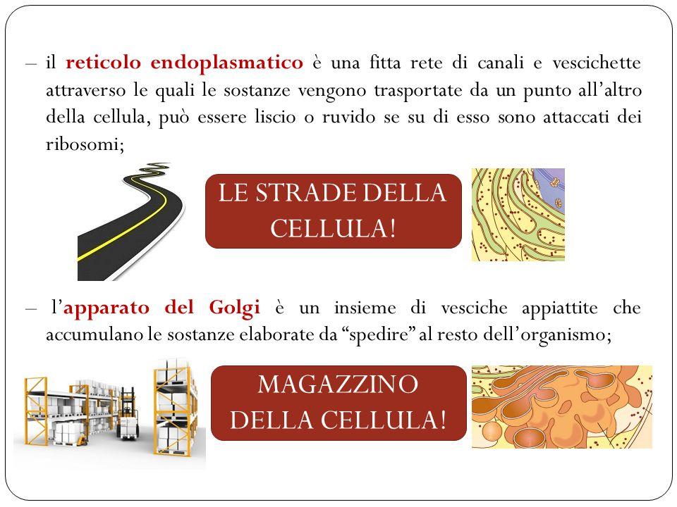 – il reticolo endoplasmatico è una fitta rete di canali e vescichette attraverso le quali le sostanze vengono trasportate da un punto all'altro della cellula, può essere liscio o ruvido se su di esso sono attaccati dei ribosomi; – l'apparato del Golgi è un insieme di vesciche appiattite che accumulano le sostanze elaborate da spedire al resto dell'organismo; LE STRADE DELLA CELLULA.