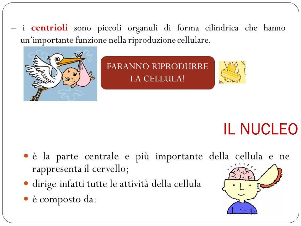 – i centrioli sono piccoli organuli di forma cilindrica che hanno un'importante funzione nella riproduzione cellulare.