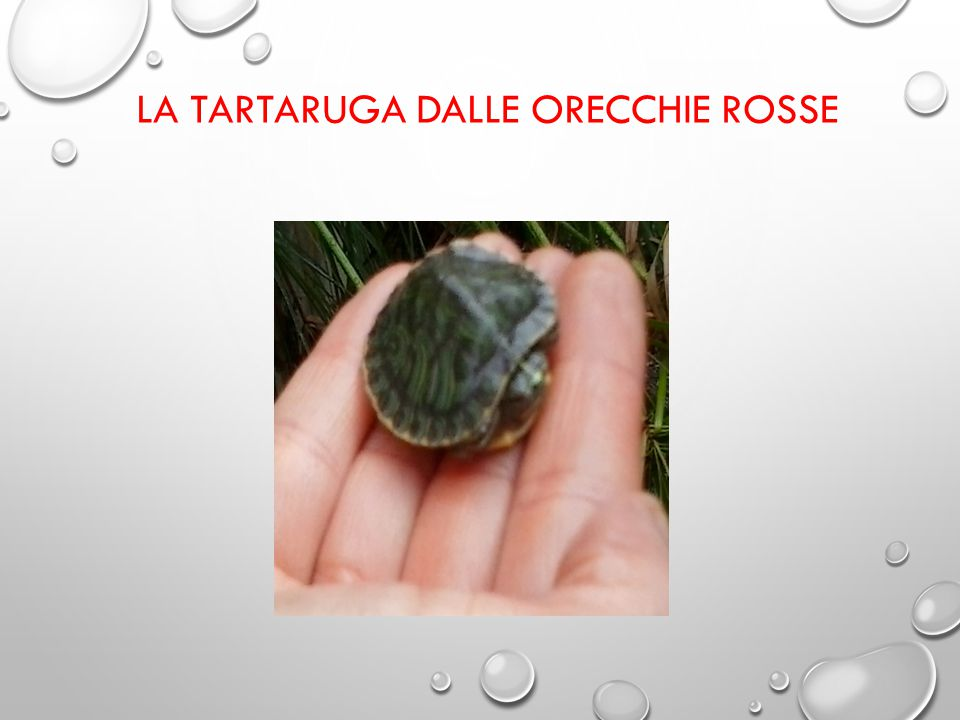 LA TARTARUGA DALLE ORECCHIE ROSSE