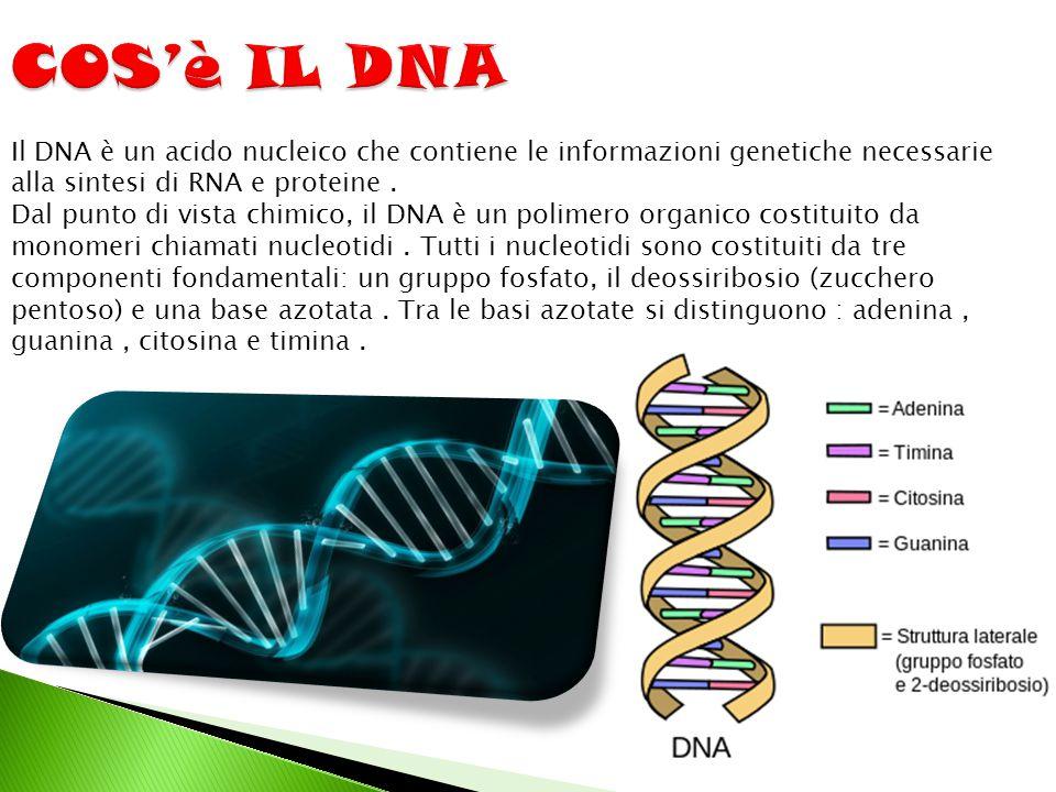Il DNA è un acido nucleico che contiene le informazioni genetiche necessarie alla sintesi di RNA e proteine. Dal punto di vista chimico, il DNA è un p