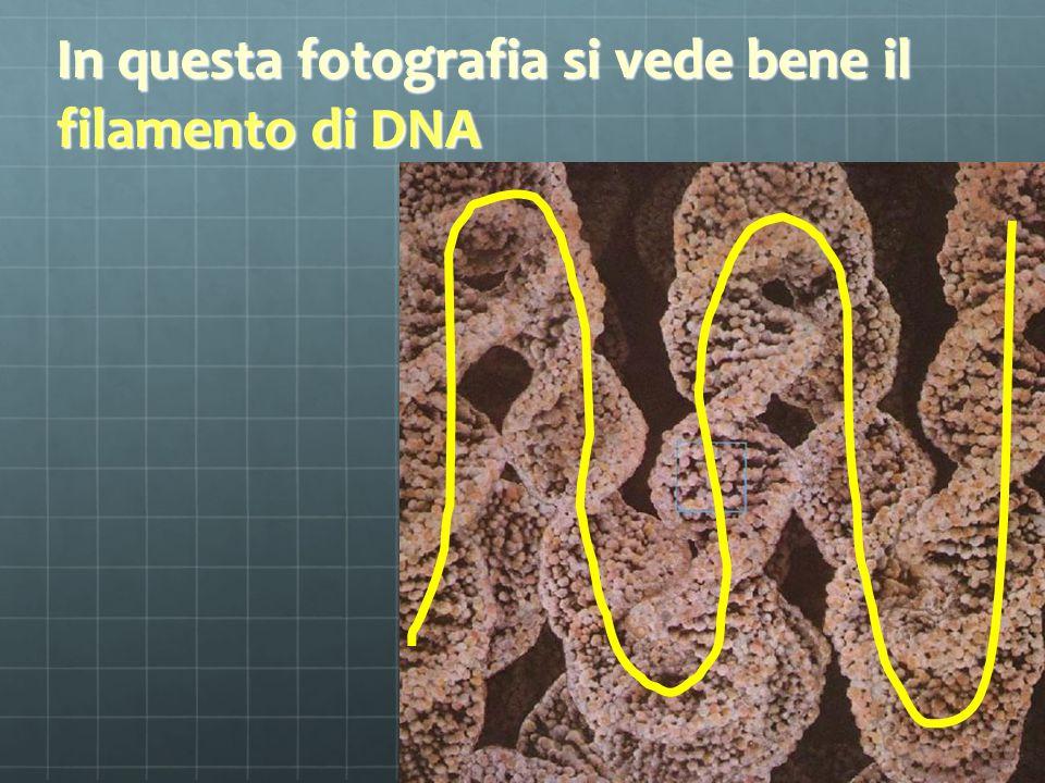 In questa fotografia si vede bene il filamento di DNA