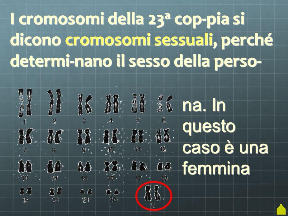 I cromosomi della 23 a cop-pia si dicono cromosomi sessuali, perché determi-nano il sesso della perso- na. In questo caso è una femmina