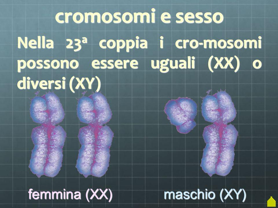 cromosomi e sesso Nella 23 a coppia i cro-mosomi possono essere uguali (XX) o diversi (XY) femmina (XX) maschio (XY)