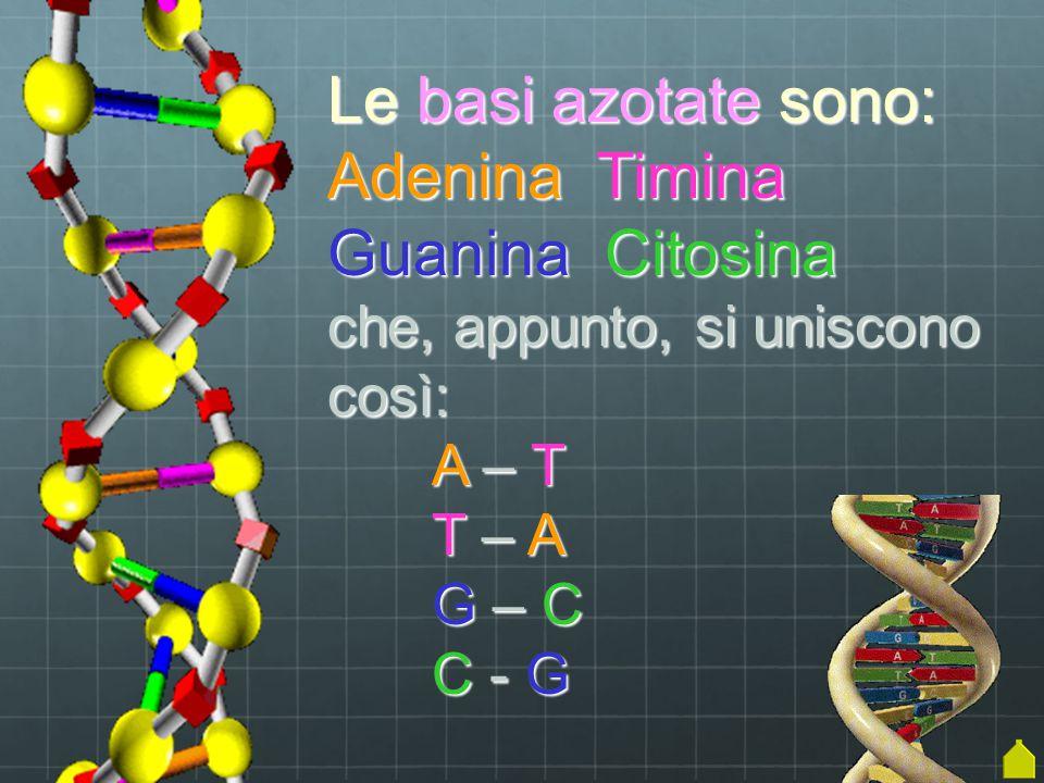 Le basi azotate sono: Adenina Timina Guanina Citosina che, appunto, si uniscono così: A – T T – A G – C C - G