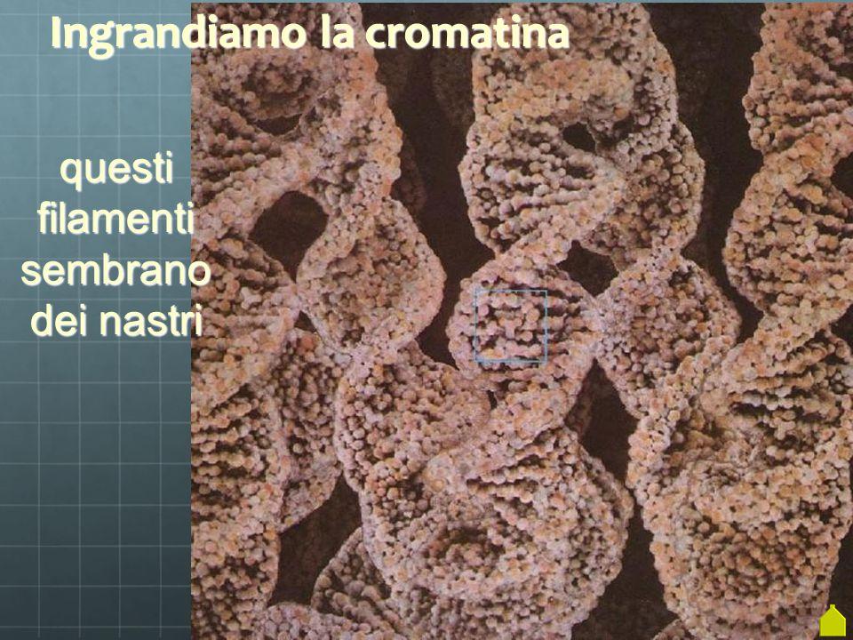 Ingrandiamo la cromatina se ingran- diamo ancora di più si vedono i singoli frammenti (molecole)