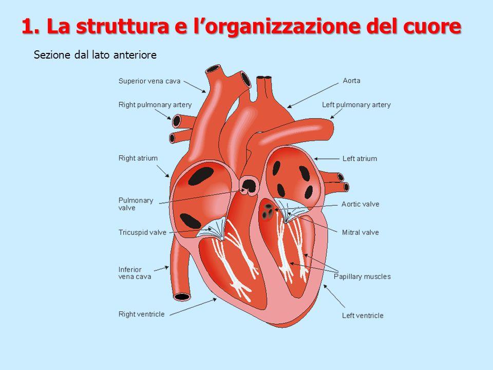 Sezione dal lato anteriore 1. La struttura e l'organizzazione del cuore