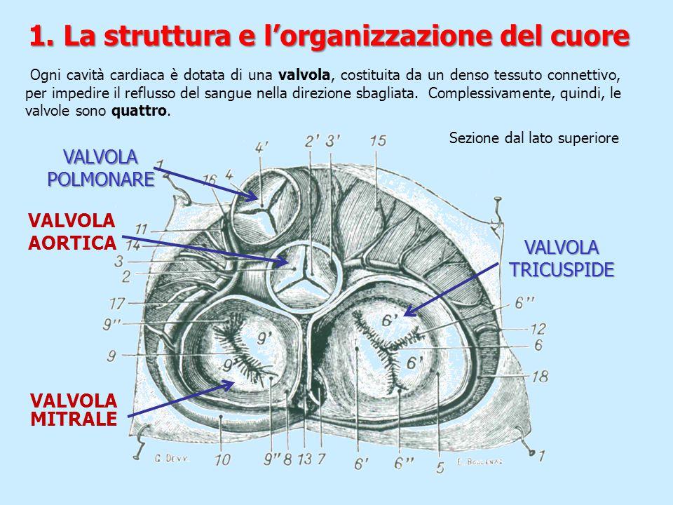 VALVOLA TRICUSPIDE VALVOLA POLMONARE VALVOLA AORTICA VALVOLA MITRALE Ogni cavità cardiaca è dotata di una valvola, costituita da un denso tessuto conn