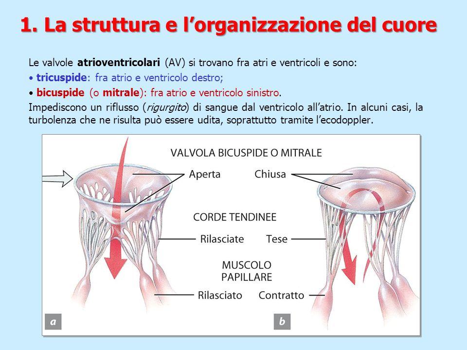 Le valvole atrioventricolari (AV) si trovano fra atri e ventricoli e sono: tricuspide: fra atrio e ventricolo destro; bicuspide (o mitrale): fra atrio