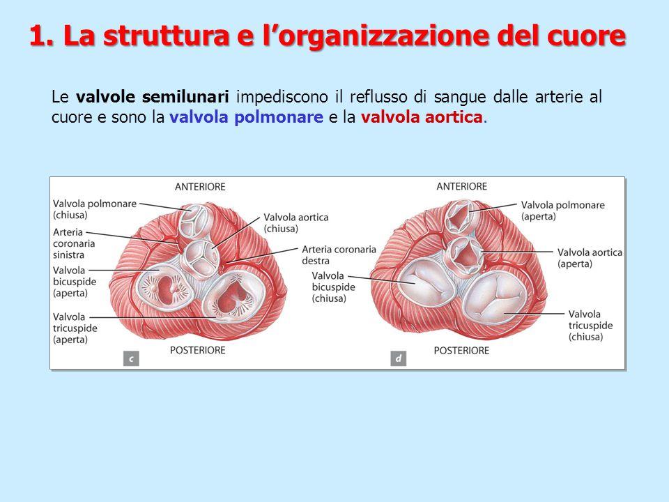 Le valvole semilunari impediscono il reflusso di sangue dalle arterie al cuore e sono la valvola polmonare e la valvola aortica. 1. La struttura e l'o