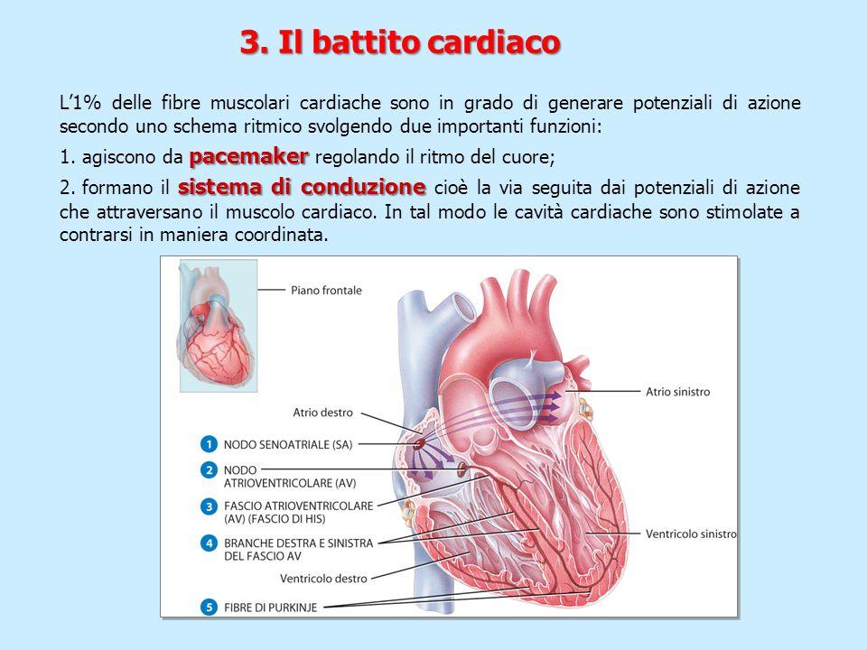 3. Il battito cardiaco L'1% delle fibre muscolari cardiache sono in grado di generare potenziali di azione secondo uno schema ritmico svolgendo due im