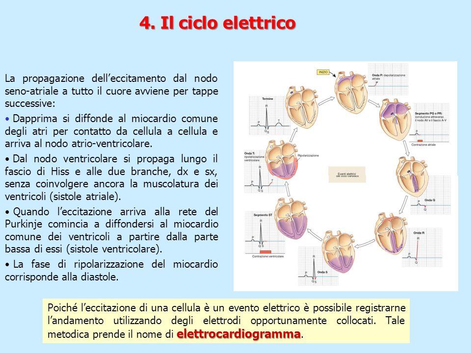 4. Il ciclo elettrico La propagazione dell'eccitamento dal nodo seno-atriale a tutto il cuore avviene per tappe successive: Dapprima si diffonde al mi