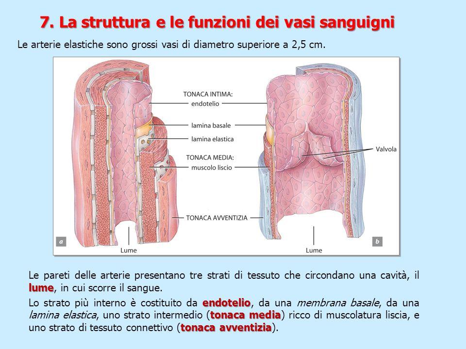 lume Le pareti delle arterie presentano tre strati di tessuto che circondano una cavità, il lume, in cui scorre il sangue. endotelio tonaca media tona