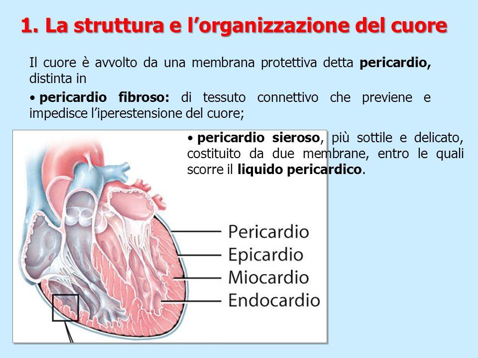Il cuore è avvolto da una membrana protettiva detta pericardio, distinta in pericardio fibroso: di tessuto connettivo che previene e impedisce l'ipere
