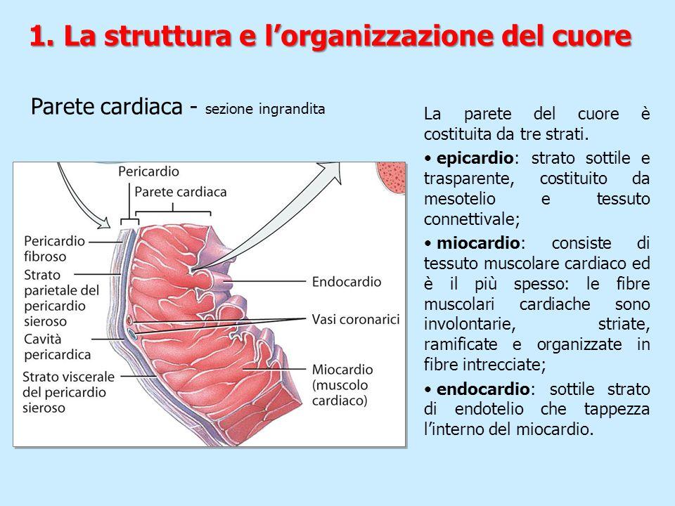 Parete cardiaca - sezione ingrandita La parete del cuore è costituita da tre strati. epicardio: strato sottile e trasparente, costituito da mesotelio