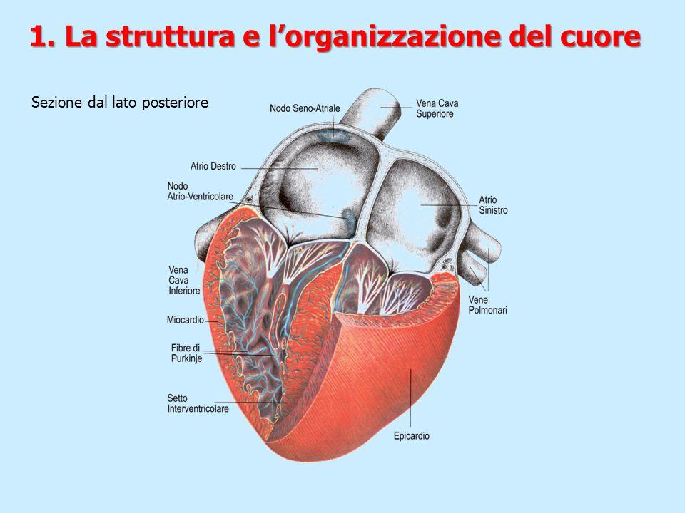 Sezione dal lato posteriore 1. La struttura e l'organizzazione del cuore