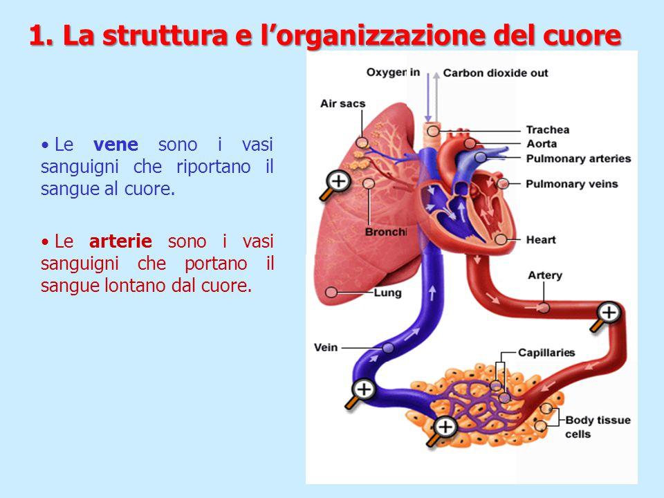 Le vene sono i vasi sanguigni che riportano il sangue al cuore. Le arterie sono i vasi sanguigni che portano il sangue lontano dal cuore. 1. La strutt