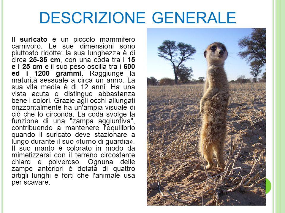 DESCRIZIONE GENERALE Il suricato è un piccolo mammifero carnivoro.