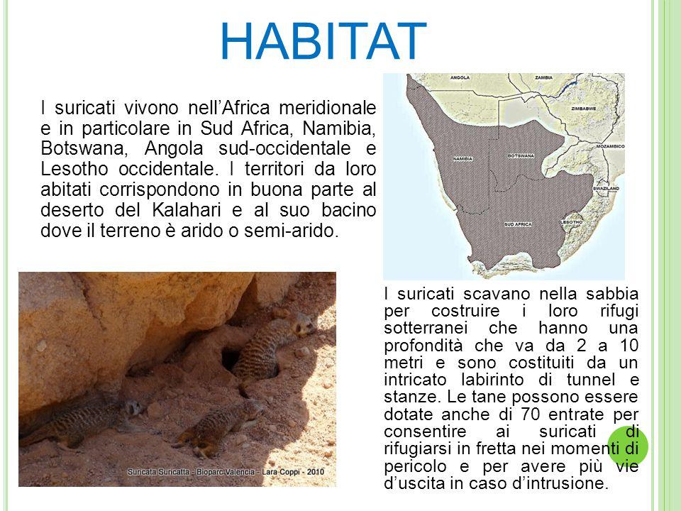 HABITAT I suricati vivono nell'Africa meridionale e in particolare in Sud Africa, Namibia, Botswana, Angola sud-occidentale e Lesotho occidentale.