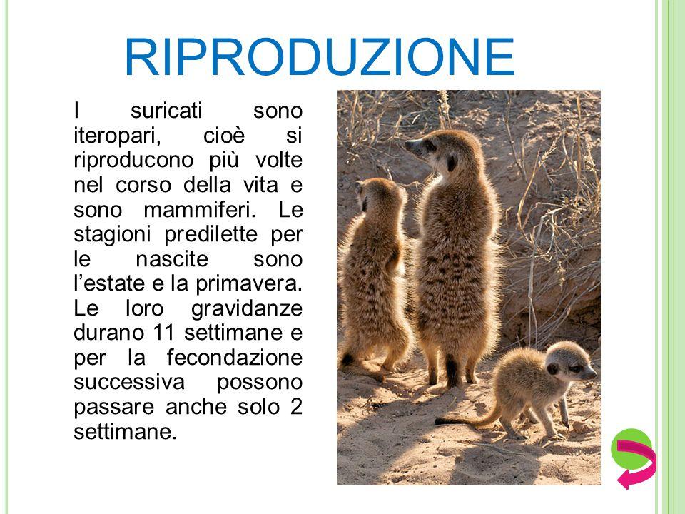 RIPRODUZIONE I suricati sono iteropari, cioè si riproducono più volte nel corso della vita e sono mammiferi.