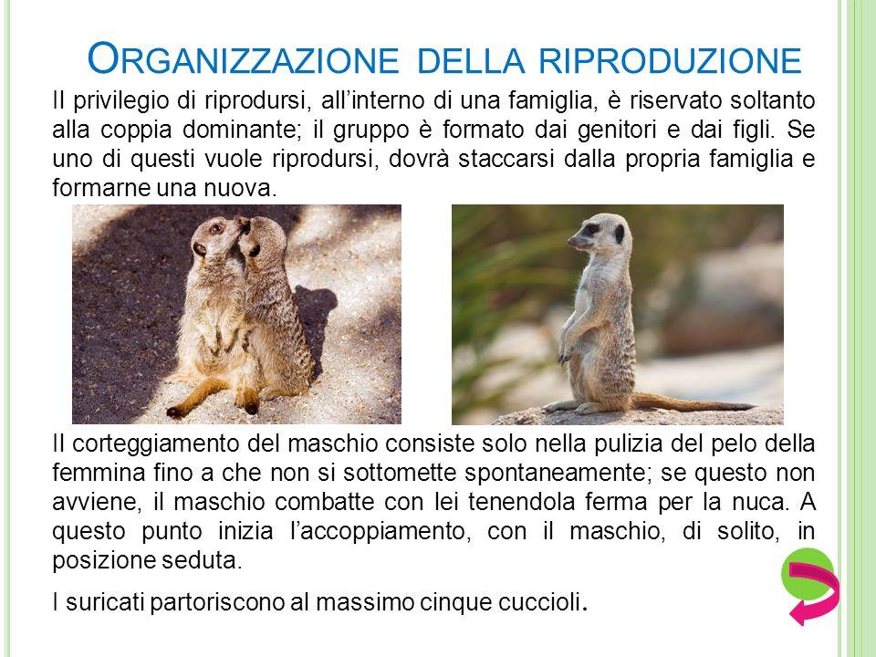 RIPRODUZIONE I suricati sono iteropari, cioè si riproducono più volte nel corso della vita e sono mammiferi. Le stagioni predilette per le nascite son