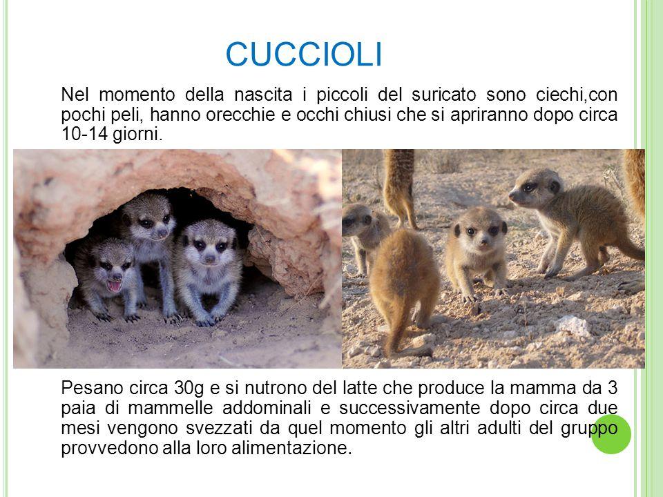 CUCCIOLI Nel momento della nascita i piccoli del suricato sono ciechi,con pochi peli, hanno orecchie e occhi chiusi che si apriranno dopo circa 10-14 giorni.